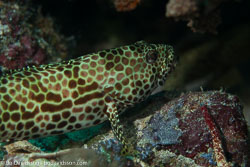 BD-161103-Pantar-4806-Epinephelus-merra.-Bloch.-1793-[Honeycomb-grouper].jpg